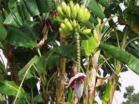 香蕉树图片