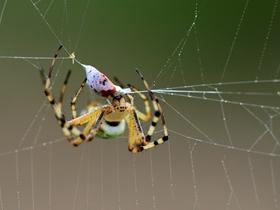 横纹金蛛图片