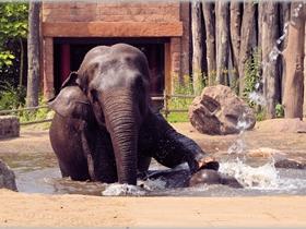 正在洗澡的大象图片