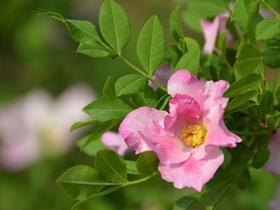 刺梨花圖片