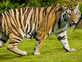 凶猛的老虎图片