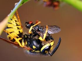 正在捕食的黄蜂图片