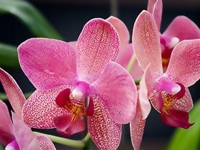 蝴蝶蘭圖片