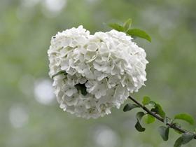 木繡球(繡球花)圖片