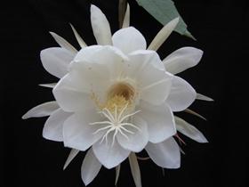 白色曇花圖片