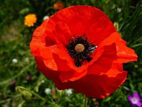 紅色罌粟花圖片