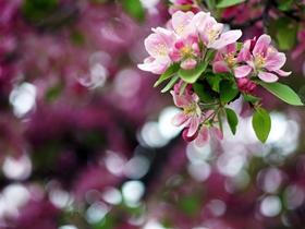 苹果花的图片