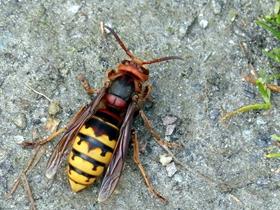 黄蜂的特写图片