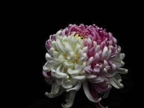 各種顏色的菊花圖片