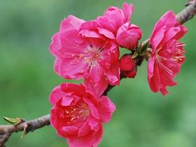 紅色千葉桃花圖片
