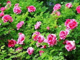 粉红色的牡丹花图片