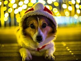 戴圣诞帽的小狗图片