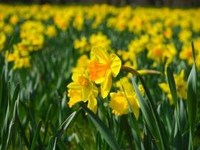 黄色水仙花图片