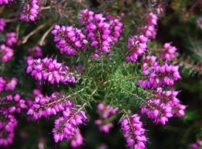 紫色欧石楠图片