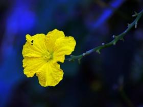 黃色絲瓜花圖片