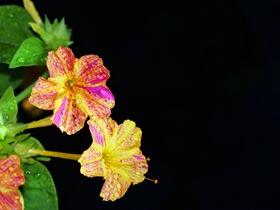 各種顏色的茉莉花圖片