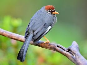 可爱的红头噪鹛鸟图片