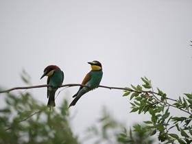 可爱的黄喉蜂虎鸟图片