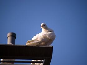 广场上的白鸽