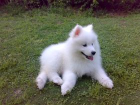 薩摩耶犬圖片
