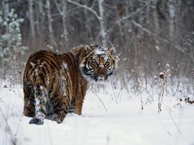 雪地里的老虎图片