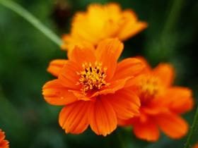 橙色硫华菊图片