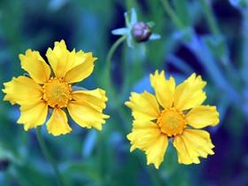 金鸡菊唯美图片