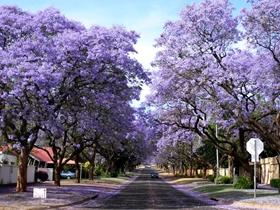 紫色浪漫的藍花楹圖片
