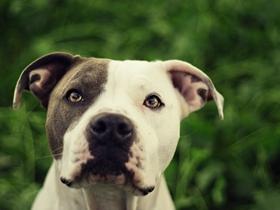 比特犬圖片