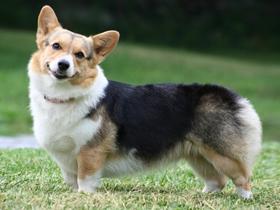 彭布罗克威尔士柯基犬图片