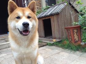 秋田犬圖片