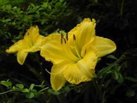 金黄色的萱草花图