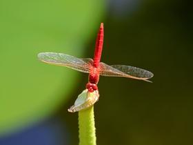 荷上的紅蜻蜓圖片