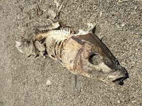 沙滩上被风干的鱼图片