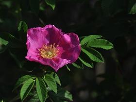 粉红色刺玫花图片