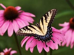 清新唯美蝴蝶圖片