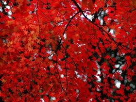 火紅的楓葉高清圖片