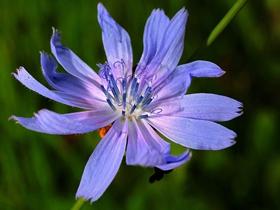 美丽的菊苣图片