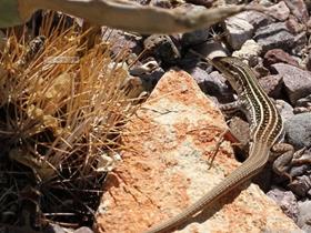 新墨西哥州的蜥蜴