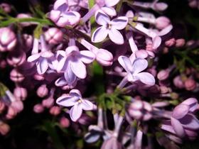 紫丁香唯美图片