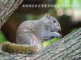 行道樹上樹鼠