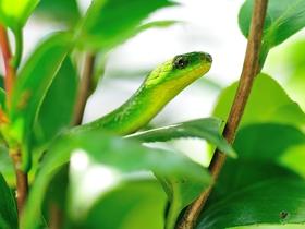 翠青蛇图片