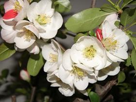 海棠花盛開圖片