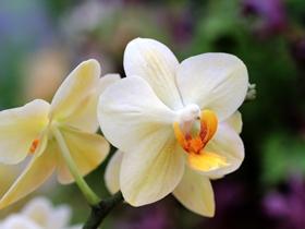 蘭花的圖片
