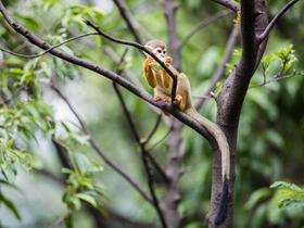 树杈上的松鼠猴