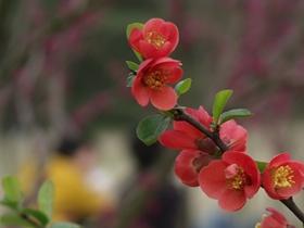 海棠花的圖片