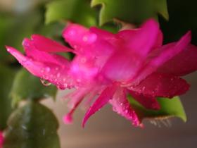 蟹腳蘭的圖片