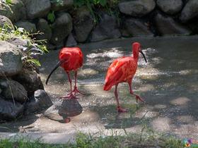 动物园朱鹮