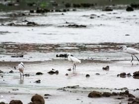濕地中的白鷺