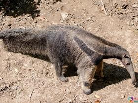 食蟻獸的圖片